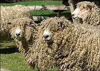 3leicester-longwool-sheep.jpg