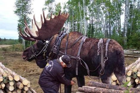 moose-logging.jpg